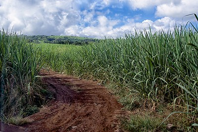 Road to Cirque de Mafate Sugar Cane