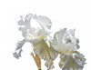 05-09-14 White Irises Simplified