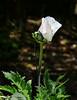 "07-27 Oriental Poppy ""Royal Wedding"""