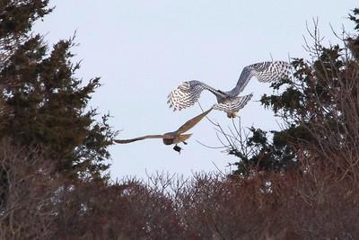 Barn Owl & Snowy Owl
