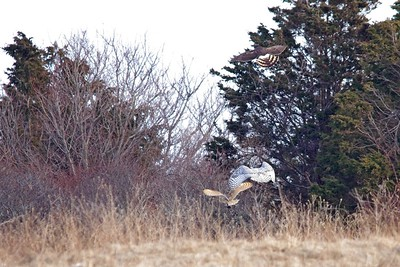 Barn Owl, Snowy Owl, Northern Harrier