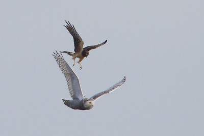 Northern Harrier & Snowy Owl