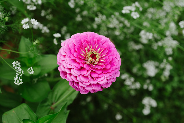 JOED VIERA/STAFF PHOTOGRAPHER-Lockport, NY- A flower blooms at Imagine Community Gardens on Tuesday, August 12th.
