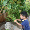 picking asian pears from our back yard