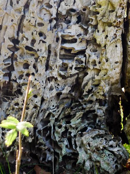 Genomborrad gammal trädstam