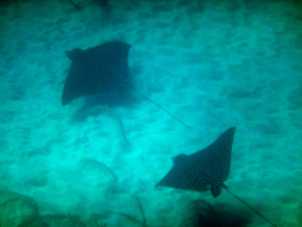 After a very long crossing, I spied these wonderful spotted eagle rays as I approached Booby Island.