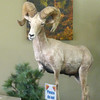 The only big horn sheep sighting today