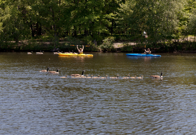 Goose family and kayakers