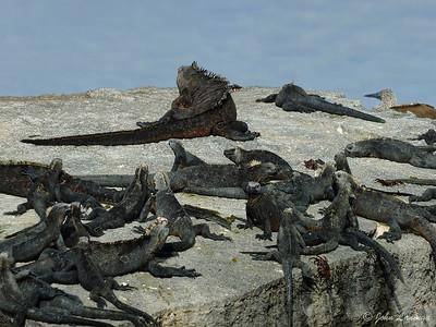 Iguana nesting