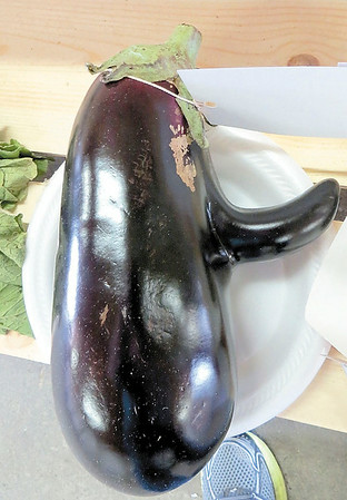 Mitchel Olszak/NEWS<br /> This eggplant, which looks as if it sprouted a nose, was entered into the freak vegetable category at the Lawrence County Fair.