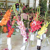 Mitchel Olszak/NEWS<br /> A colorful display of gladiolus at the Lawrence County Fair.