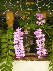 Balcony orchids, on Paseo Colonial near Hotel Suite Colonial