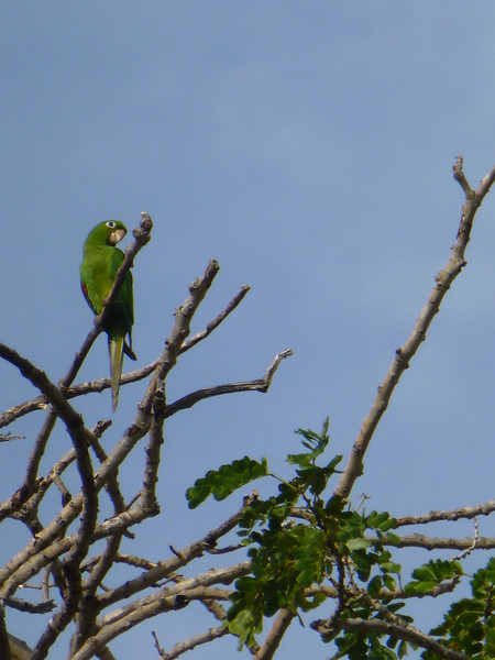 Hispaniola parakeet in the trees of the Fortaleza Ozama