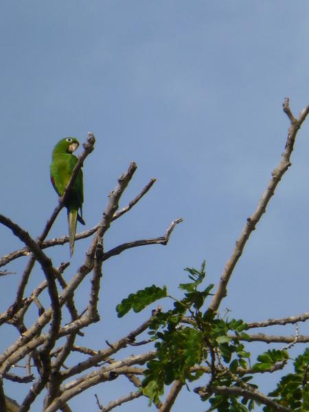 Hispaniola parakeet in the trees of the Fortaleza Ozama