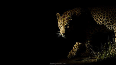 In the Shadows  Location:  Sabi Sands Game Reserve, South Africa  The leopard (Panthera pardus) is without a doubt one of the most sought after wildlife photographic subjects in Africa and for many people just a quick glimpse of this beautiful cat is an incredible experience.  During a recent safari we had the amazing privilege of spending almost 2 hours with a large male as he patrolled his territory after a younger male moved through the area earlier that day.  With the dominant male moving around quite a bit in the darkness it was very difficult to get an image of him but our patience and planning paid off.  We noticed that there was a certain section of the road which he kept on coming back to so when he headed in that direction again we moved ahead of him and waited.  As luck would have it the spotted cat moved into the headlights of the other vehicle that was with us at which point I ws able to get this shot.  With the animal approaching us he was only focused on finding the other male leopard and did not worry about or react to our presence at all - the best way to photograph wildlife.  Nikon D3s, Nikkor 70-200mm lens at 200mm, 1/400  f/2.8, ISO 3200