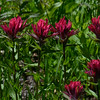 Indian Paintbrush, Lake Tipsoo, 7-29-14