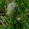 Anemone seed pod, Bistort, Lake Tipsoo, Mt. Rainier