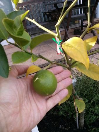 20140413 Lemon & Lime