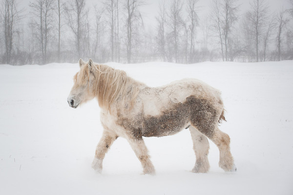 140129 3A Ent JOED VIERA/STAFF PHOTOGRAPHER Hartland, NY- A horse walks through snow on a field in Hartland on Monday, January 29th.