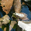 14010 JOED VIERA/STAFF PHOTOGRAPHER-Lockport, NY- A frog rests in a pond at the DiMino's Garden on Thursday, July 10th.