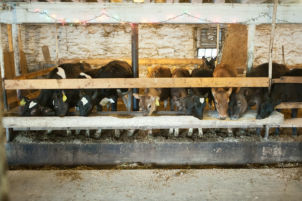 140703 JOED VIERA/STAFF PHOTOGRAPHER-Lockport, NY-Cows graze on some grain at the Kowalski's farm on July 3, 2014.