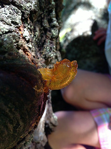 Weird sap extrusion on an ancient cherry tree