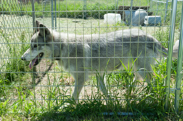 140608 Husky JOED VIERA/STAFF PHOTOGRAPHER-Ransomville, NY- Shila a rescued husky hangs around her cage at Epic Blue Acres. June 8, 2014