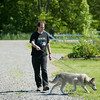 140608 Husky JOED VIERA/STAFF PHOTOGRAPHER-Ransomville, NY- Volunteer Noah Johnson walks Shila a rescued husky at Epic Blue Acres. June 8, 2014