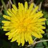MET060314 dandelionsblossom