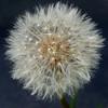 MET060314 dandelions seeds