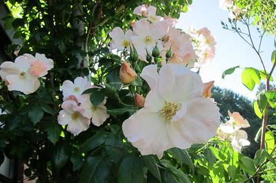 rose garden revisit