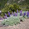 Lupines on the summit