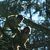 Fergus monkeys