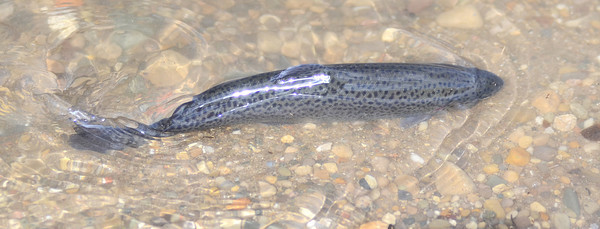 MET032014 trout swim