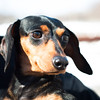 140313 Enterprise JOED VIERA/STAFF PHOTOGRAPHER-Lockport, NY- Jezzy a Dachshound for the Heart of Niagara animal rescue organization on Thursday, Mar. 13th, 2014.