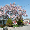 140511 Enterprise JOED VIERA/STAFF PHOTOGRAPHER-Olcott, NY-A magnolia tree blooms in front of a home on Ontario St. in Olcott Beach. May 12, 2014