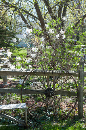 140505 Ent JOED VIERA/STAFF PHOTOGRAPHER-Newfane, NY-wild flowers grow over an antique spinning wheel. May 6, 2014