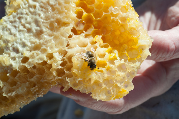 140404 Slideshow JOED VIERA/STAFF PHOTOGRAPHER Lockport, NY-Geri Hens shows a deseased bee colony April 2, 2014.