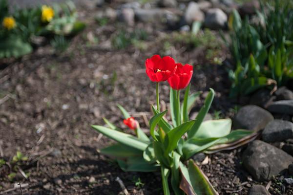 140511 Enterprise JOED VIERA/STAFF PHOTOGRAPHER-Newfane, NY-Tulips bloom at Murphy's Orchards. May 12, 2014