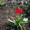 140511 Enterprise JOED VIERA/STAFF PHOTOGRAPHER-Newfane, NY-Tulips bloom at Murphy's Orchards. May 12, 2014