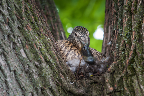 140521 Quacky Duck JOED VIERA/STAFF PHOTOGRAPHER-Lockport NY-A Mallard Duck nests in a tree on Livingston Pl. May 21, 2014