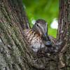 140521 Quacky Duck JOED VIERA/STAFF PHOTOGRAPHER-Lockport NY-A Mallard Duck nests in a tree on Livingston Pl. May 21, 2014