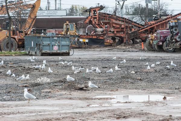 140430 Walmart JOED VIERA/STAFF PHOTOGRAPHER-Lockport, NY-Seaguls flock the construction site of the Walmart on Transit Road. April 30, 2014