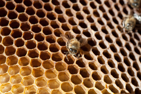140404 Slideshow JOED VIERA/STAFF PHOTOGRAPHER Lockport, NY-A deseased bee lays on a honey comb April 2, 2014.