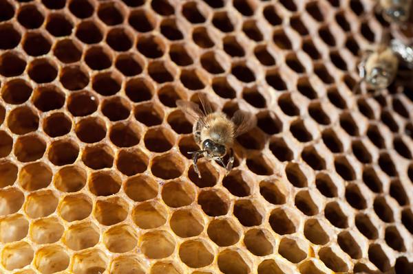 140404 Slideshow JOED VIERA/STAFF PHOTOGRAPHER Lockport, NY-A deseased bee lays on a honey comb April 2, 2014.