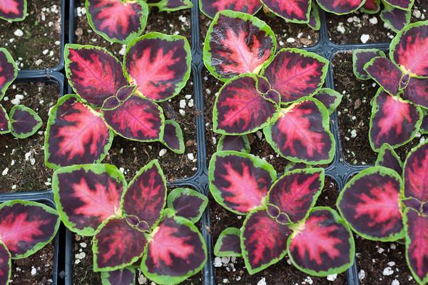 140501 Pipiles JOED VIERA/STAFF PHOTOGRAPHER-Newfane, NY- Mighty Mosaic plants at Pipiles Farm. April 30, 2014