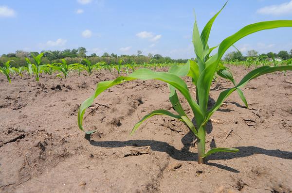 MET052114 crops corn
