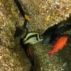 Scythe butterflyfish