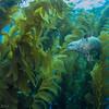 Slalom course through the kelp