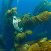 Harbor seal pup in the kelp